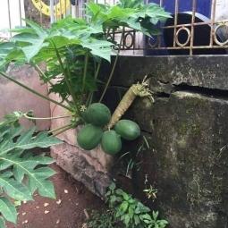 벽뚫고 열매까지 맺은 의지의 파파야 나무