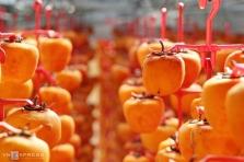 가을 바람에 익어가는 달랏 특산품 곶감
