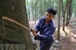 베트남, 천연고무 수출 세계 3위