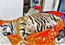 하띤성: 멸종 위기에 처한 '호랑이' 요리용으로 보관하다 발각
