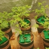 호찌민시: 집에서 대량의 대마초 재배한 남성 체포