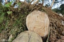 베트남, 태풍 몰라베로 고무나무 농장 큰 피해.., 라텍스 생산 영향