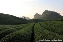 목쩌우(Moc Chau) - 녹차밭