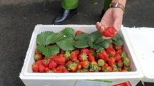 베트남 중부, 농약 잔류물 과다 검출된 중국산 딸기 압수