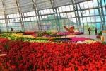 냐짱, 관광객들을 위한 튤립 꽃 축제