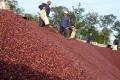 세계 2위 커피 생산국 베트남, 전년 동기 대비 수출 급감