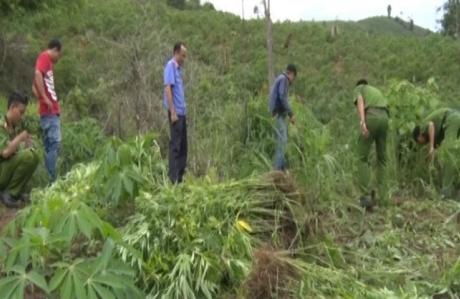 베트남, 중부 산악 지대에서 재배되던 대규모 '대마초 농장' 발각