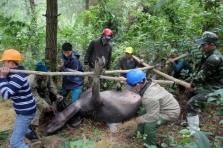 베트남 북부지역 한파로 물소 500마리 집단 폐사