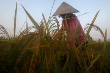 베트남 산업통상부, 5월부터 쌀 수출 정상화 제안