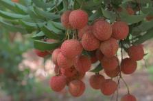 박장성에서 생산된 리치 열매 5월부터 일본 수출 개시 예정