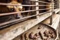 베트남 '족제비 커피', 세계 5대 특이한 커피 중 하나로 선정