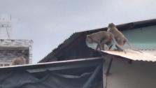 호찌민시: 먹이 찾아 가정집에 난입한 원숭이에 골머리