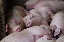 베트남, 태국에서 돼지 190만 마리 산 채로 수입 예정