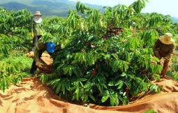 베트남 커피 주산지 중부 고원지대에서 커피 수확 개시