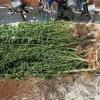 베트남 중부 빙뚜언성에서 대마초 재배하다 발각된 캐나다인