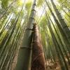 베트남, 그리고 대나무