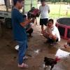 닭싸움(투계) 경기 장면
